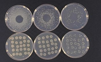 Cultures of Pseudomonas syringae van Hall take...
