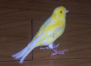 English: Yellow canary