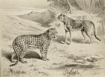 English: Illustration of a leopard and cheetah